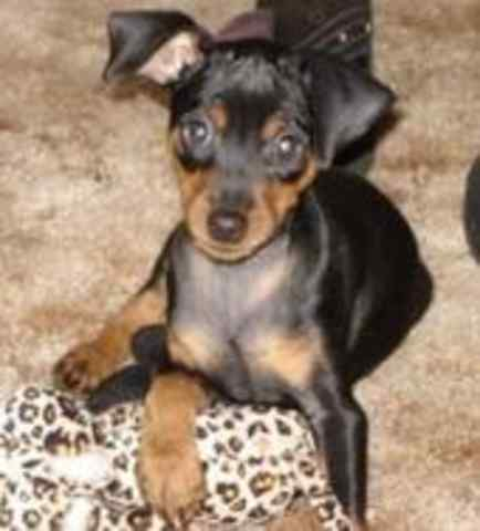 Miniature Pinscher: TANK
