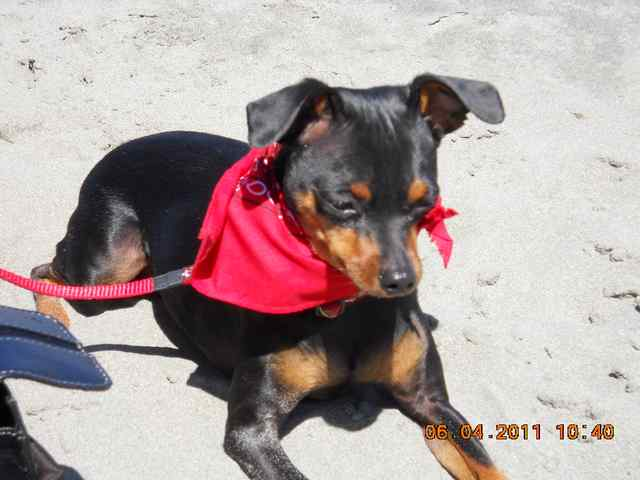 Miniature Pinscher: Hunter
